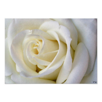 Rose White Poster, S Cyr Poster