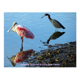Roseate Spoonbill and Little Blue Heron Postcard