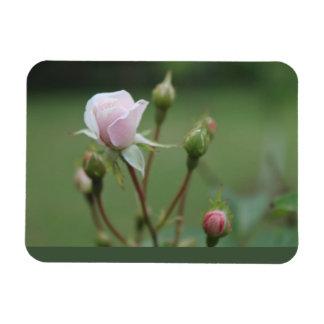 Rosebuds Magnet