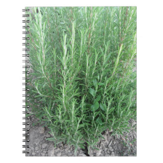 Rosemary plant in the garden . Tuscany, Italy Notebooks