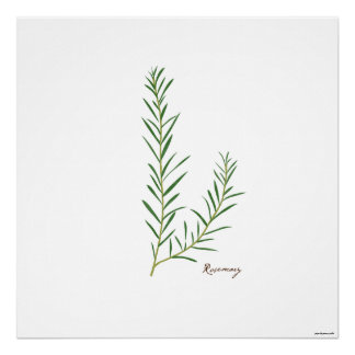 Rosemary Stem Illustration |  Herb Botanical Print