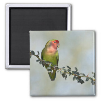 Rosy- faced love bird on a branch. magnet