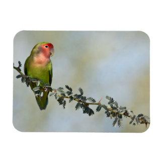 Rosy- faced love bird on a branch. rectangular photo magnet