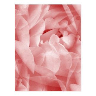 Rosy Rose Postcard