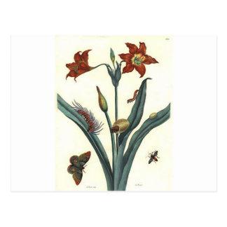 Rote Lilie by Maria Sibylla Merian Postcard