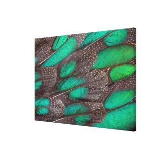 Rothschild Peacock Pheasant Canvas Print