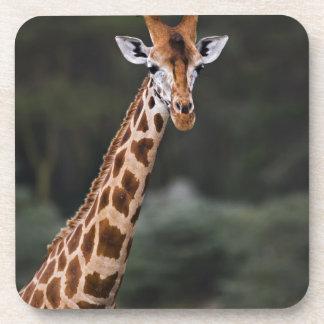 Rothschild's Giraffe, Lake Nakuru National Park, Beverage Coasters