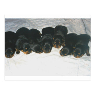 Rottweiler Puppies Postcard