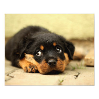 Rottweiler puppy dog curious about life photo