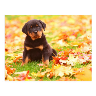 Rottweiler Puppy Sitting In Autumn Leaves Postcard