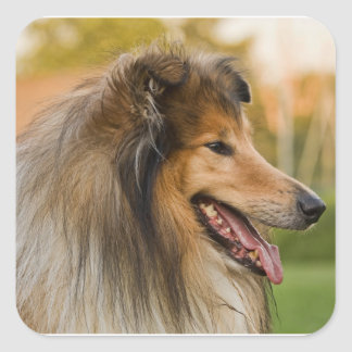 Rough-coated Collie Square Sticker