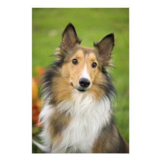 Rough Collie, dog, animal Art Photo