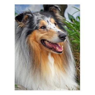 Rough collie dog beautiful photo postcard