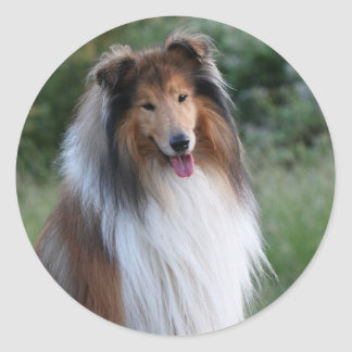 Rough Collie dog beautiful photo stickers