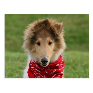 Rough collie puppy dog cute beautiful photo postcard