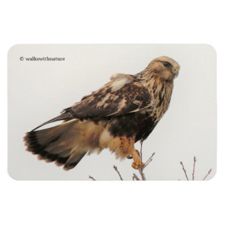 Rough-Legged Hawk in the Tree Magnet