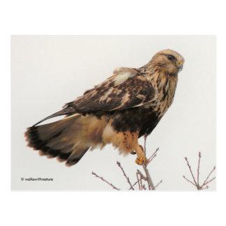 Rough-Legged Hawk in the Tree Postcard
