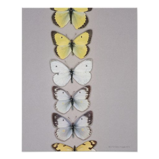 Row of butterflies posters