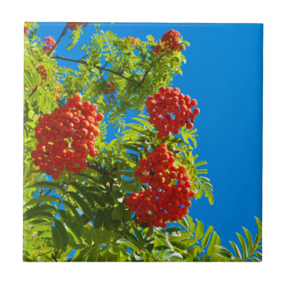 Rowan tree  with red berries tile