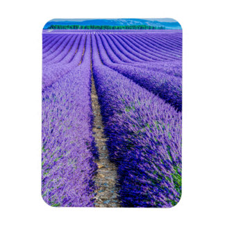 Rows of Lavender, Provence, France Magnet