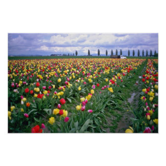Rows Of Mixed Tulips Closeup flowers Print