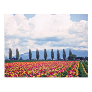 Rows Of Mixed Tulips flowers Postcard