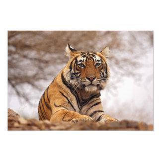 Royal Bengal Tiger - a close up, Ranthambhor 2 Art Photo