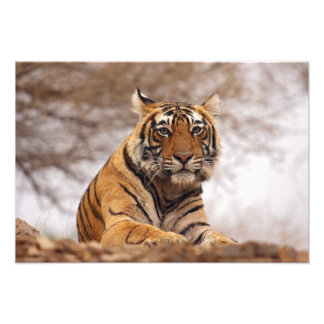 Royal Bengal Tiger - a close up, Ranthambhor Photographic Print