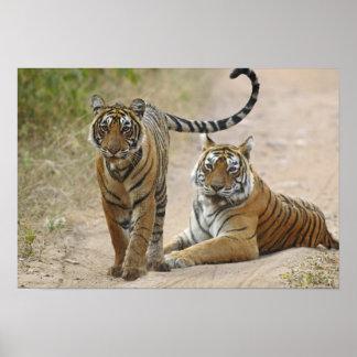Royal Bengal Tiger and young, Ranthambhor Poster
