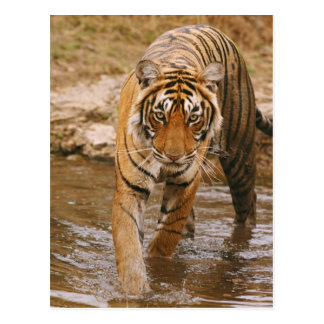 Royal Bengal Tiger coming out of jungle pond, Postcard