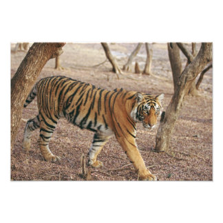 Royal Bengal Tiger coming out of woodland, Photo