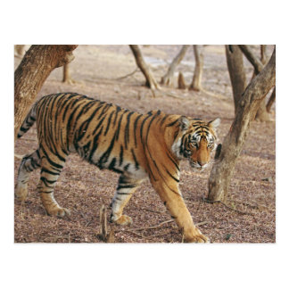 Royal Bengal Tiger coming out of woodland, Postcard