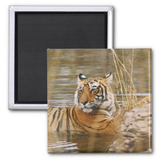 Royal Bengal Tiger in the forest pond, Square Magnet