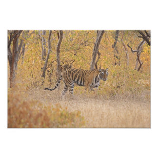 Royal Bengal Tiger in the forest, Ranthambhor Photo Print