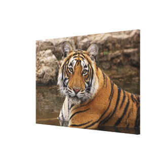 Royal Bengal Tiger in the jungle pond, Canvas Print