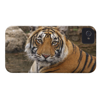 Royal Bengal Tiger in the jungle pond, iPhone 4 Case-Mate Case