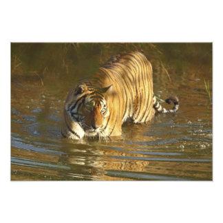 Royal Bengal Tiger in water, Ranthambhor Photograph