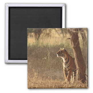 Royal Bengal Tiger on look out for prey, Square Magnet