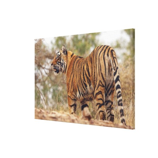 Royal Bengal Tiger on uphill, Ranthambhor Stretched Canvas Print
