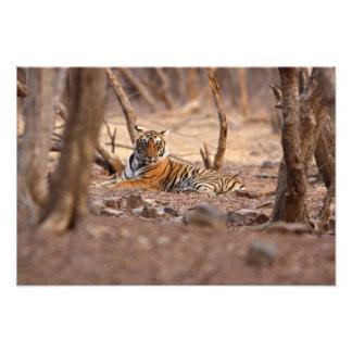 Royal Bengal Tiger, Ranthambhor National Park, Photo Print