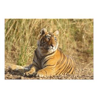 Royal Bengal Tiger sitting outside grassland, Photograph