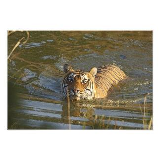 Royal Bengal Tiger swiming, Ranthambhor Photographic Print