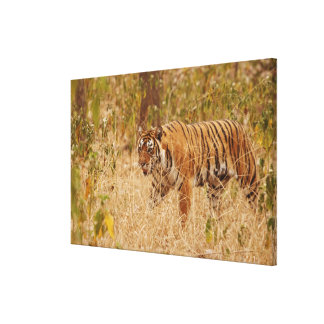 Royal Bengal Tiger walking around the bush, Stretched Canvas Prints
