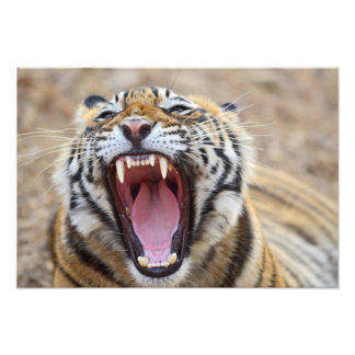 Royal Bengal Tiger yawning; Ranthambhor Photograph