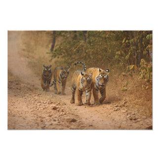 Royal Bengal Tigers on the move, Ranthambhor Art Photo