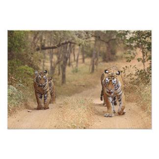Royal Bengal Tigers on the track, Ranthambhor 2 Photograph