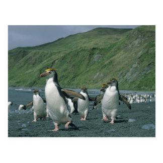 Royal Penguins Eudyptes schlegelii endemic Postcards