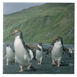 Royal Penguins (Eudyptes schlegelii) endemic, Tile