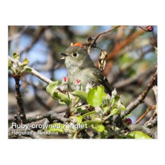Ruby-crowned Kinglet Postcard