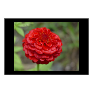 Ruby Red Zinnia Poster